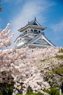 満開の桜と長浜城の写真素材 [FYI03355616]