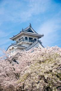 満開の桜と長浜城の写真素材 [FYI03355620]