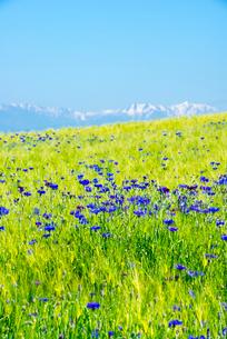 ヤグルマソウ咲く麦畑と北アルプス連峰の写真素材 [FYI03355717]