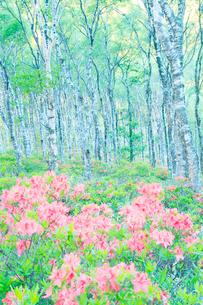 朝の白樺平の白樺林とレンゲツツジのハイキーイメージの写真素材 [FYI03355770]