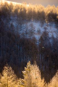霧ヶ峰高原 朝焼けに染まる針葉樹林とダイヤモンドダストの写真素材 [FYI03355995]