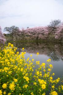 彦根城内堀に映る満開の桜と西の丸三重櫓の写真素材 [FYI03356045]