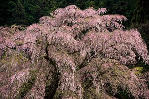 又兵衛桜 本郷の瀧桜の写真素材 [FYI03356067]