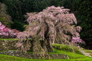 又兵衛桜 本郷の瀧桜の写真素材 [FYI03356069]