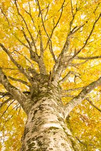 黄葉のブナの木の写真素材 [FYI03356196]