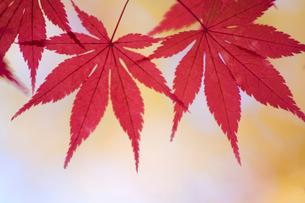 紅葉したモミジの写真素材 [FYI03356206]