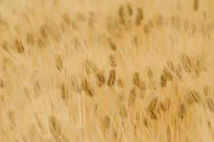 大麦畑の写真素材 [FYI03356209]