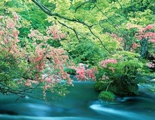 ツツジ咲く奥入瀬渓流  青森県の写真素材 [FYI03356342]