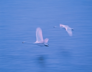 飛ぶ白鳥の写真素材 [FYI03356655]