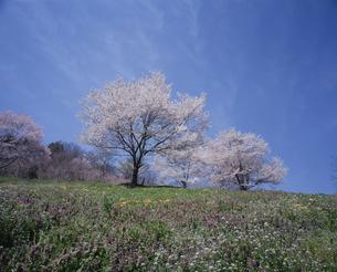 草原と桜の写真素材 [FYI03357003]