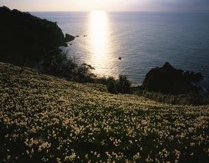 越前岬の水仙畑と光る海の写真素材 [FYI03357370]