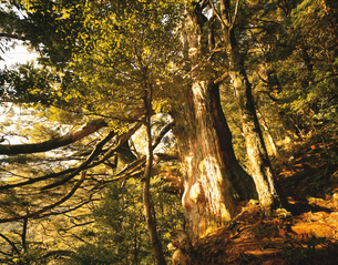 那智原始林の巨樹の写真素材 [FYI03357385]