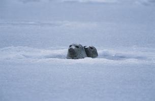 結氷した港のゴマフアザラシの写真素材 [FYI03357493]