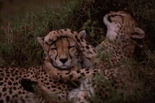 じゃれ合う2頭のチーター マサイマラ ケニアの写真素材 [FYI03357525]