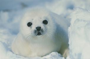 タテゴトアザラシ  セントローレンス湾 カナダの写真素材 [FYI03357535]