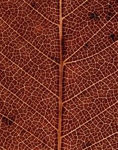 ケヤキの葉脈のアップ(茶色)の写真素材 [FYI03358214]