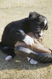 靴で遊ぶ子犬(ボーダーコリー)の写真素材 [FYI03358225]