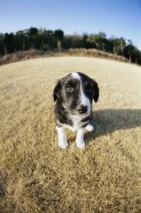 子犬(ボーダーコリー)の写真素材 [FYI03358230]