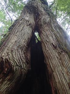 ヤクスギランドの二股の杉・Aの写真素材 [FYI03358321]