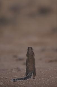 カラハリ砂漠のジリスの背中 北ケープ州 南アフリカの写真素材 [FYI03358448]