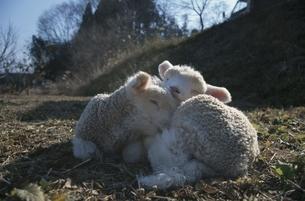 2頭の生後1ケ月未満の羊の兄弟の写真素材 [FYI03358457]