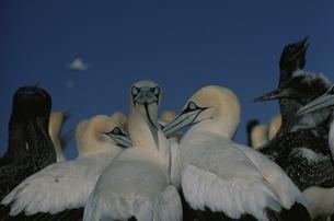 複数のケープカツオドリと青空 2月 ケープタウン 南アフリカの写真素材 [FYI03358459]