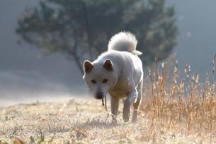 白い日本犬の写真素材 [FYI03358464]