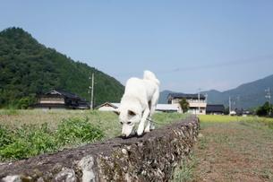 白い日本犬の写真素材 [FYI03358465]