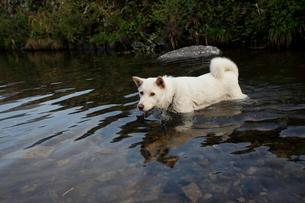 白い日本犬が川で遊ぶの写真素材 [FYI03358468]