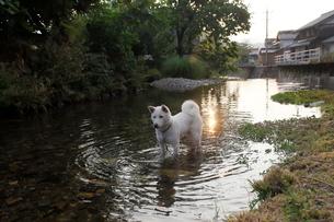 白い日本犬が川で遊ぶの写真素材 [FYI03358472]
