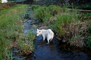 白い日本犬が川で遊ぶの写真素材 [FYI03358478]