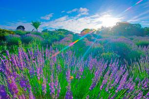 信州国際音楽村のラベンダー畑と木立と朝日とホルンのオブジェの写真素材 [FYI03359083]