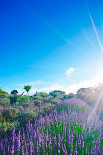 信州国際音楽村のラベンダー畑と木立と朝の光とホルンのオブジェの写真素材 [FYI03359101]