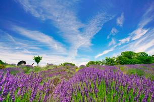 信州国際音楽村のラベンダー畑と木立とホルンのオブジェの写真素材 [FYI03359364]