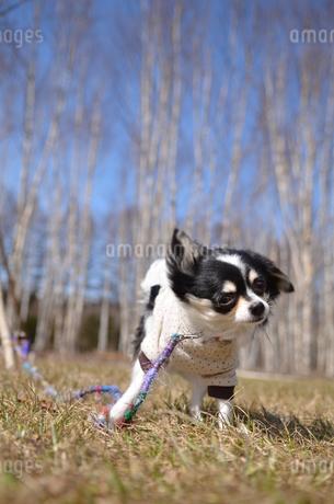 犬 チワワ 散歩の写真素材 [FYI03359536]