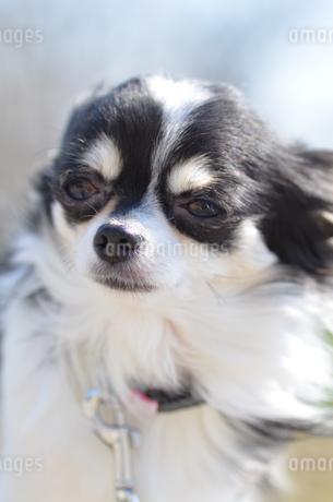 犬 チワワ 癒しの写真素材 [FYI03359590]
