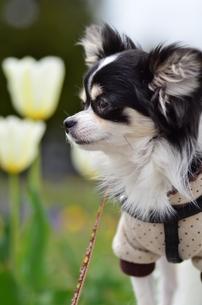 犬 チワワ 花の写真素材 [FYI03359677]