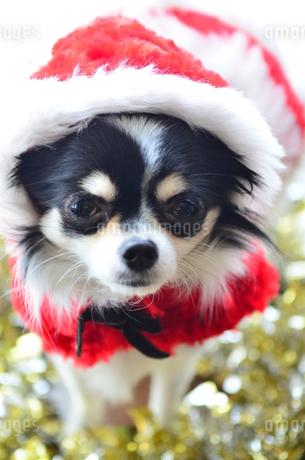 犬 チワワ サンタさんの写真素材 [FYI03359826]