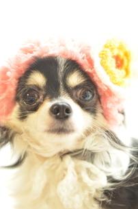 犬 チワワ 帽子の写真素材 [FYI03360116]