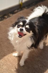 犬 チワワ 笑顔の写真素材 [FYI03360117]