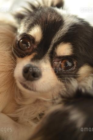犬 チワワ ウルウルの写真素材 [FYI03360118]