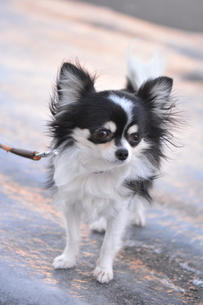 犬 チワワ 散歩の写真素材 [FYI03360119]