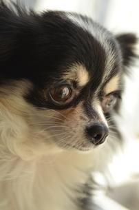 犬 チワワの写真素材 [FYI03360120]