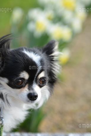 犬 チワワ 花畑 散歩の写真素材 [FYI03360173]