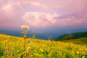 霧ヶ峰高原のニッコウキスゲとシシウドと夕方の虹の写真素材 [FYI03360620]
