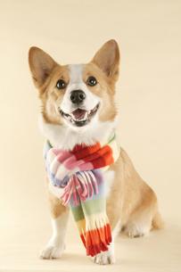 マフラーを巻いた犬の写真素材 [FYI03361510]