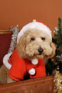 犬のクリスマスイメージの写真素材 [FYI03361519]