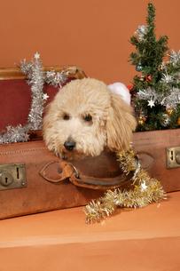 犬のクリスマスイメージの写真素材 [FYI03361525]
