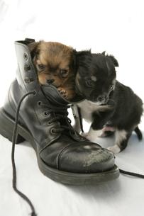靴の中に入っている子犬の写真素材 [FYI03361543]