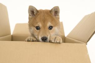 ダンボールに入っている子犬の写真素材 [FYI03361547]
